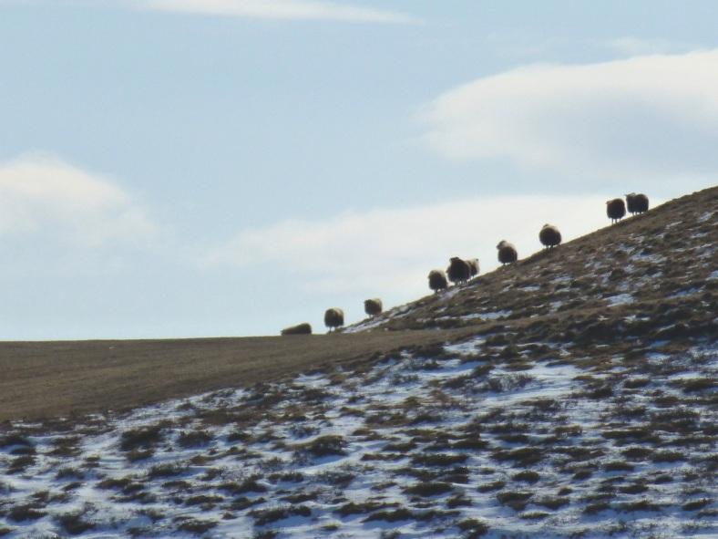 sheeponahill1