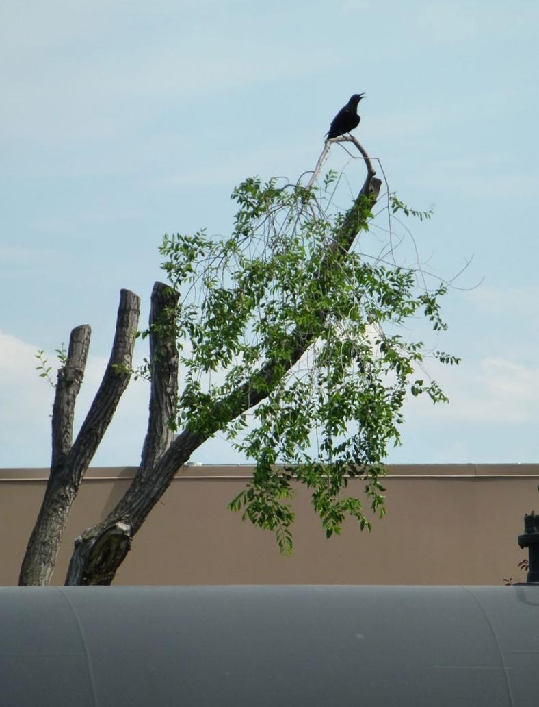 tankerbird
