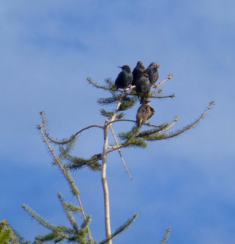 starlings1