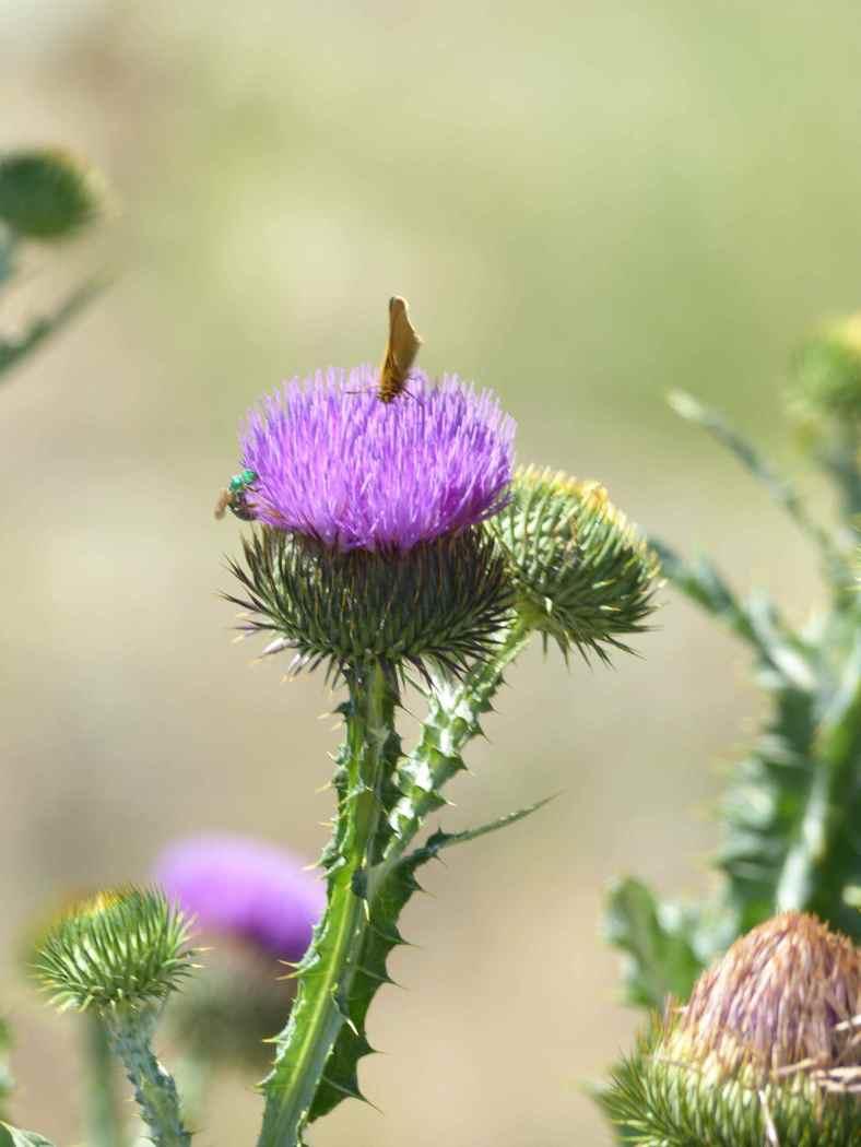 mothbeethistle